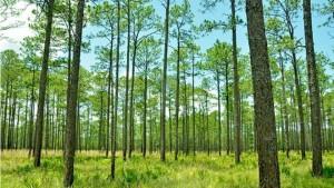 _88668046_c0284798-longleaf_pine_forest_pinus_palustris_-spl